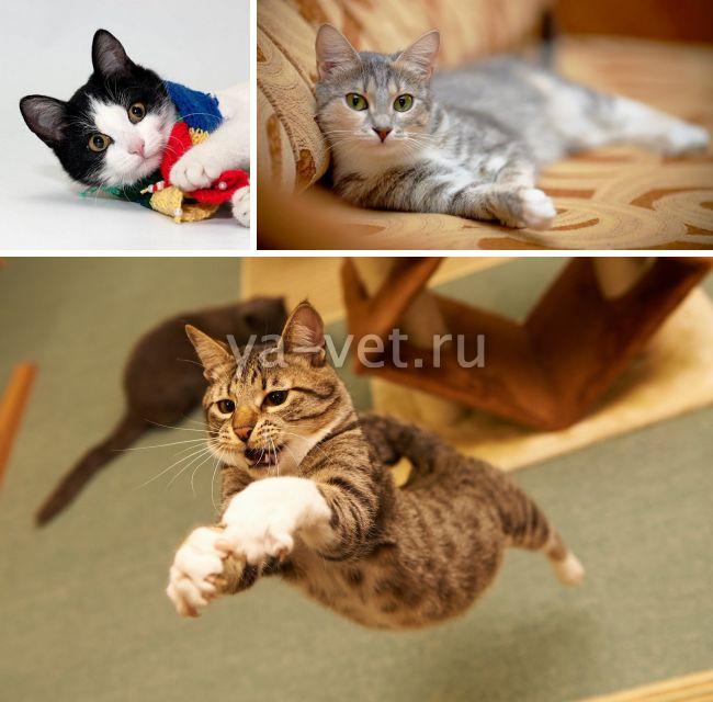 операция мягкие лапки у кошек