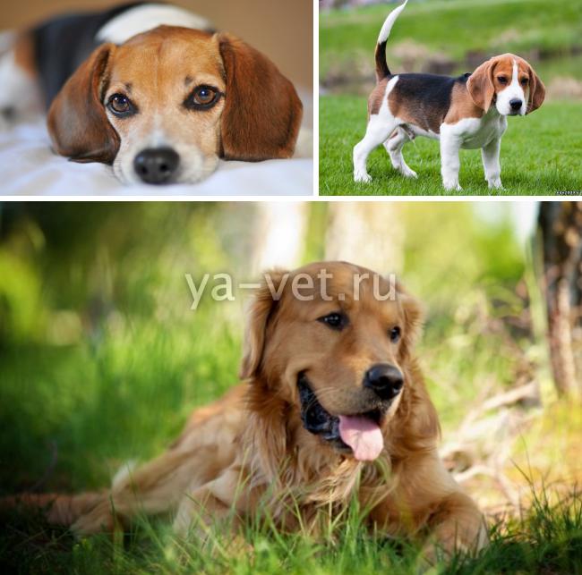 опухоль молочной железы у собаки