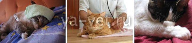 воспаление легких у кошек лечение