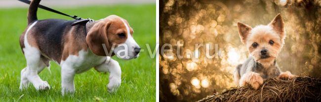 прививка от чумки собаке когда делать