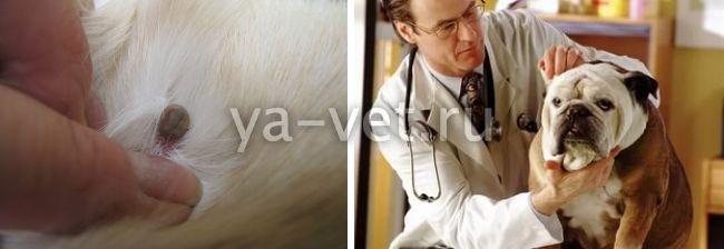 признаки клещевого энцефалита у собак