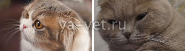 как лечить панлейкопению у котят