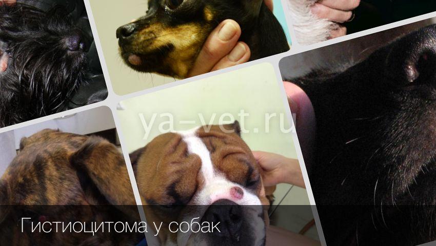 Гистиоцитарные заболевания кожи у собак