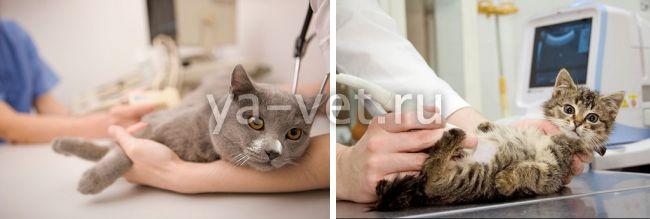 саркоптоз у кошек симптомы