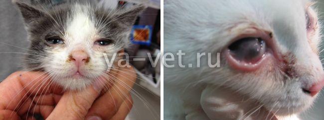 вирусные заболевания у кошек