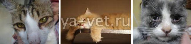 вирусный ринотрахеит кошек лечение