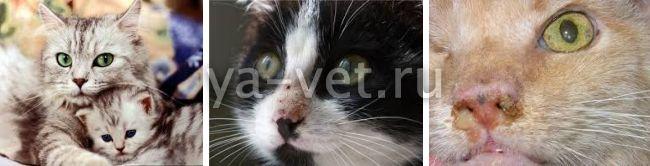 вирусный ринотрахеит кошек