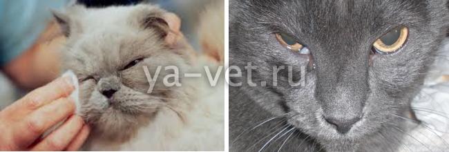 воспаление глаз у кошек