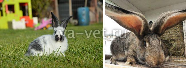 запор у кролика что делать