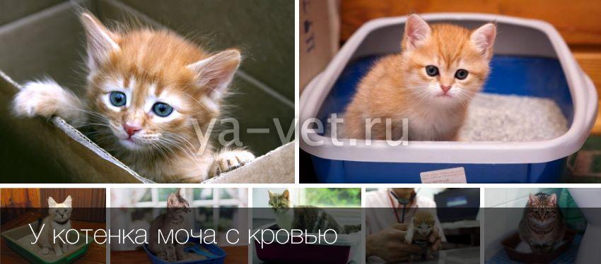 Кровь в моче у кошки - как лечить: гематурия у кошек