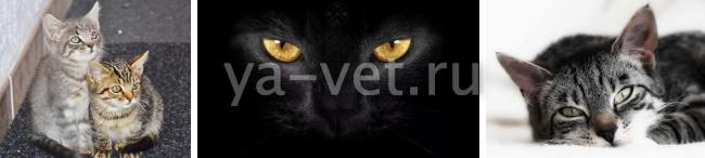 гемобартонеллез кошек симптомы и лечение