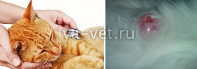 опухоль у кошки на животе кровоточит