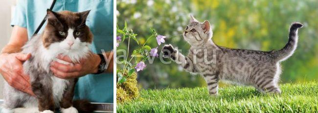 пиелонефрит у кота симптомы