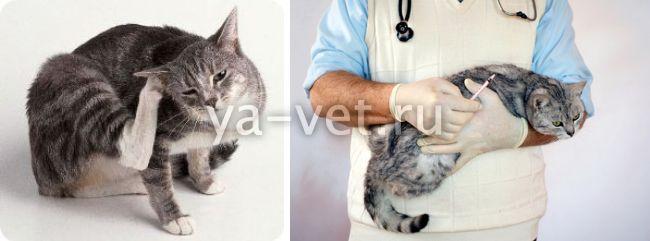 признаки пиодермии у кошки