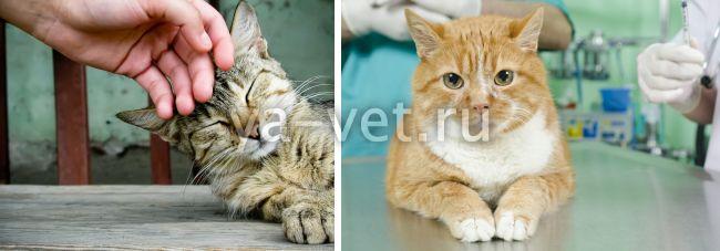 пиодермия у кошки