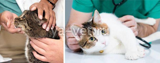Что делать у котенка моча с кровью