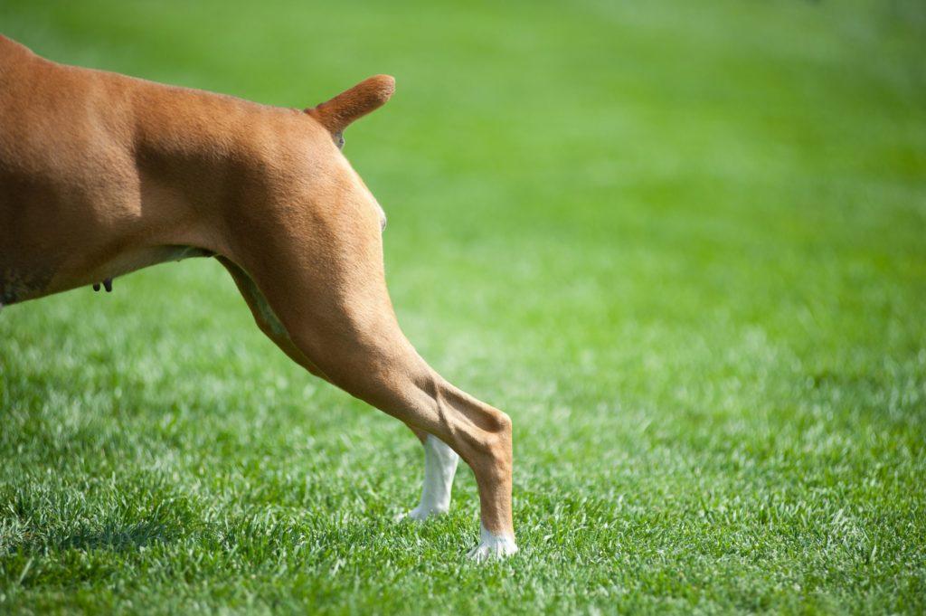 Ампутация хвоста у собак