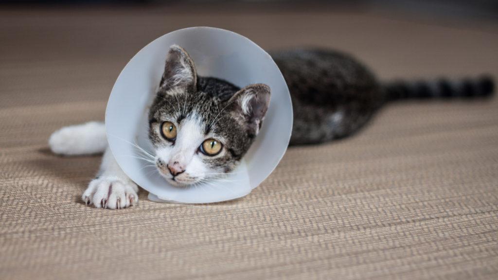 Уретростомия кота